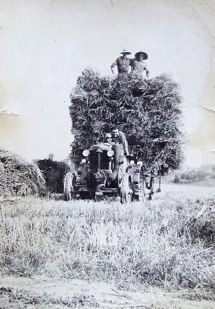 raccolta di covoni nel podere Paglia (1950)